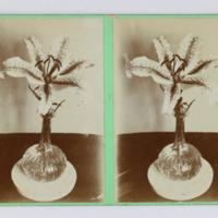 Stereoscopic card: [Flower in vase]