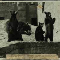 Regimental pets which have been left behind at the zoo while their regiments are at the front: the black bears of the Canadians have soon started to beg