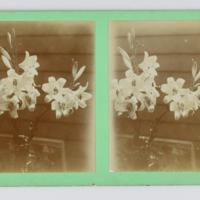 Stereoscopic card: [Tasmanian Christmas lilies]